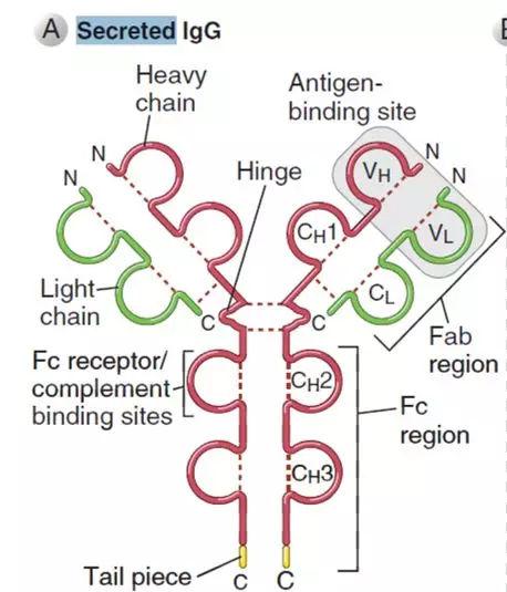抗体结构图